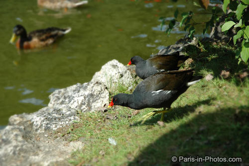 moorhen paris