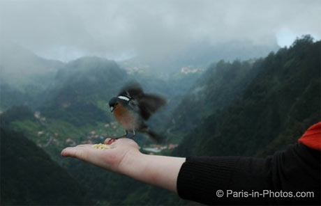 Madeira chaffinch