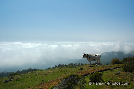 Madeira cow, paul de serra
