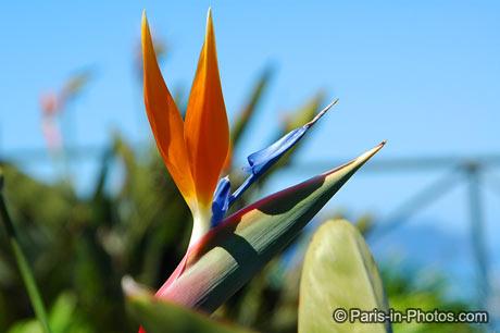 Madeira paradise flower